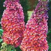 Butterfly Bush Propagation on Bi Colored Butterfly Bush Price   12 50 Each Cabbage